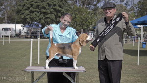 Bo achieving his title under judge Mr D Kill (QLD) - Photo by Thornoughton Photography